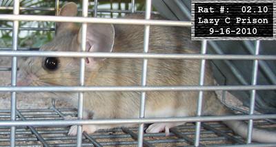 16Sep2010 Pack Rat Mugshot