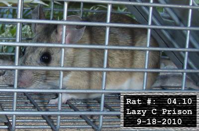 18Sep2010 Pack Rat Mugshot - 1