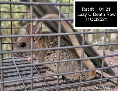 11Oct2021 Packrat. First death row inmate.