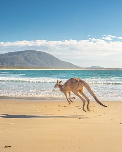 Kangaroos on beach NSW