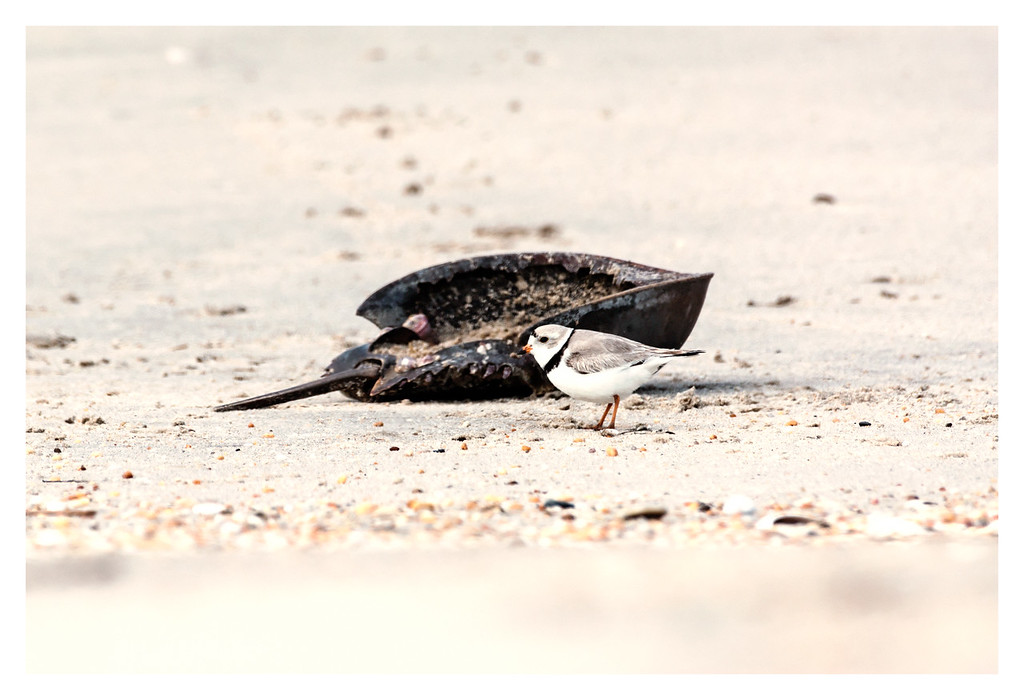Piping Plover and Horseshoe Crab Exoskeleton