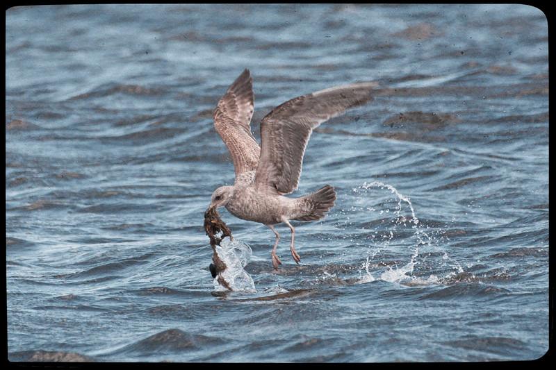 Seagull & Seaweed