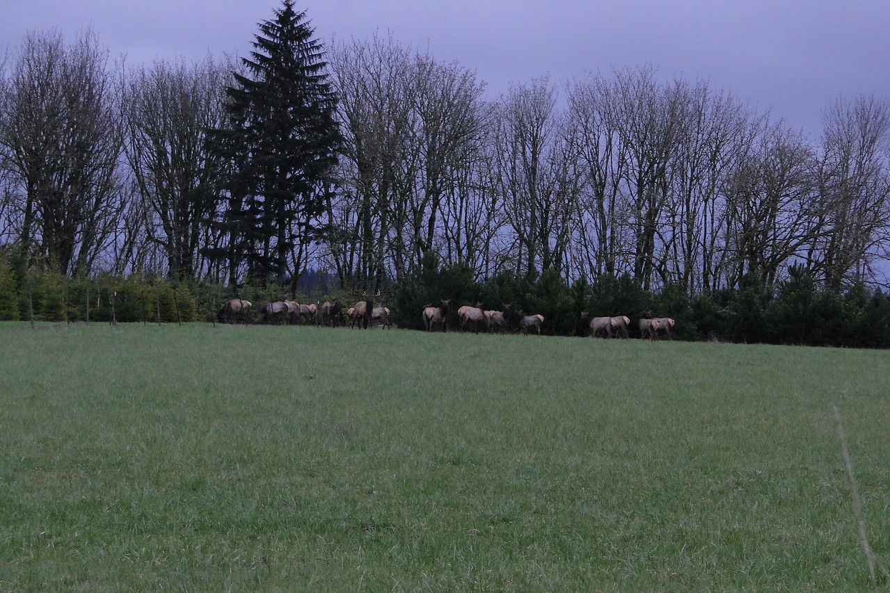We had Elk wandering through the back field this evening. April 6th 2011