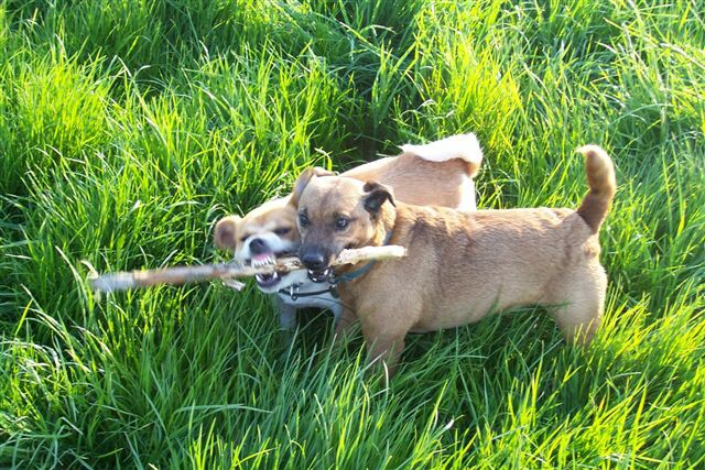 Dad sent us this photo of Hetty & her friend Fred fighting over a stick!! My money is on Fred!!