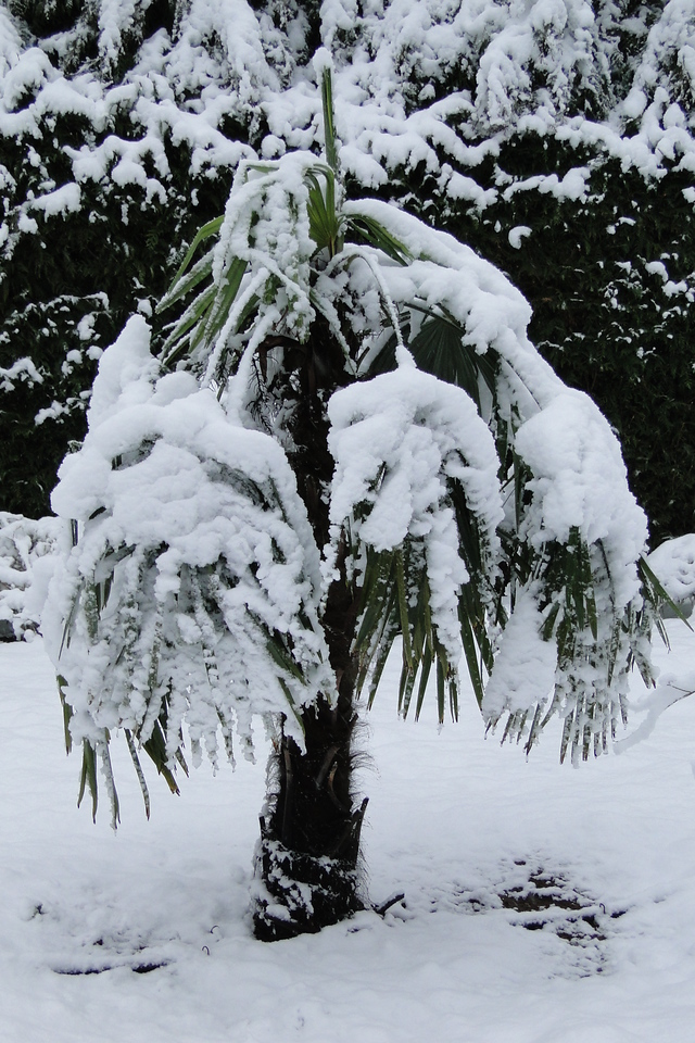 March 1st & it's bloody snowing! The Windmill Palm sure isn't happy about it!