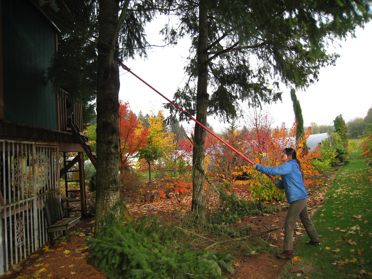 Chiyoko working hard pruning the bottom branches off the fir trees around the tree house.