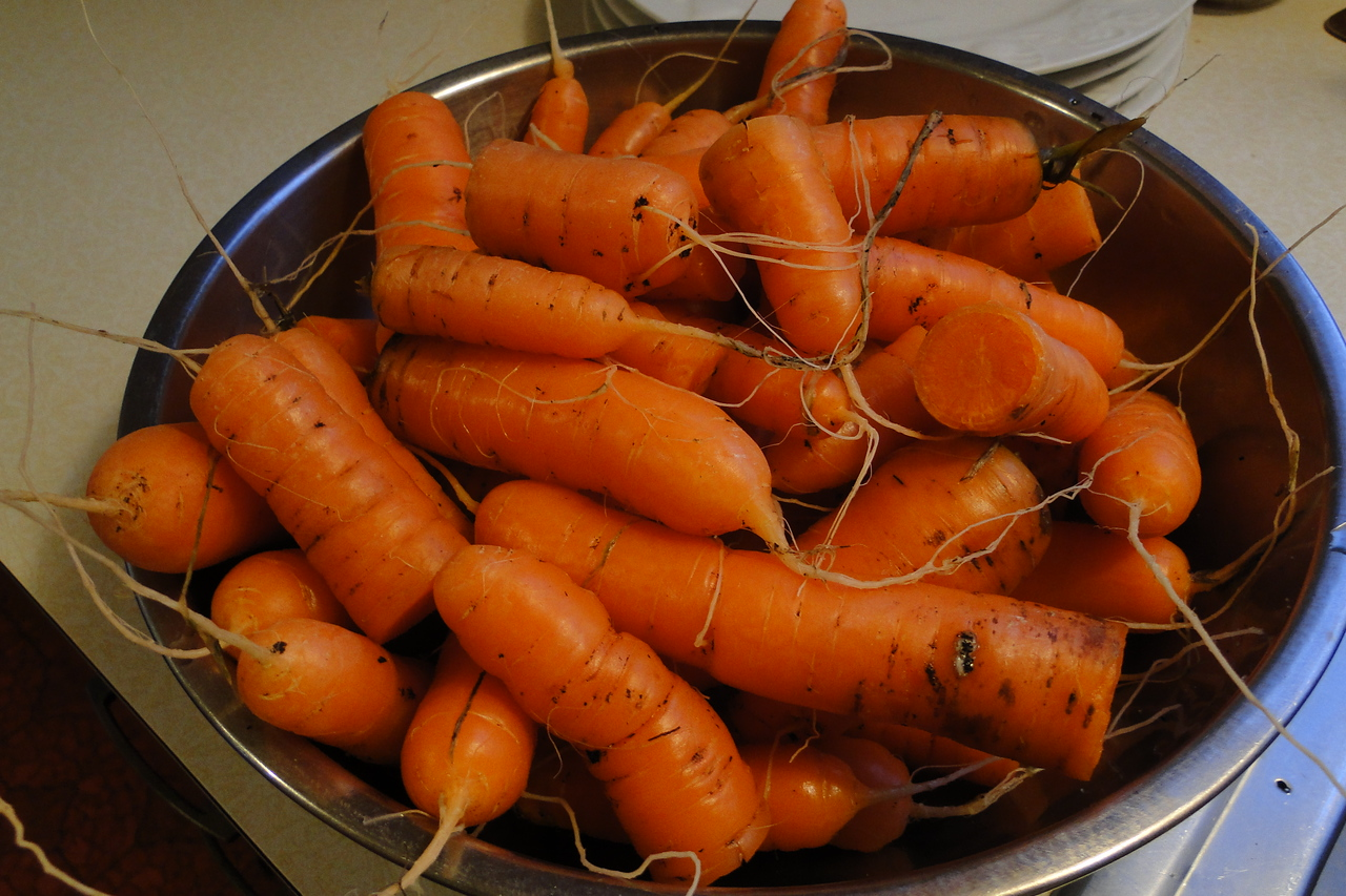 So I went to dig over a section of the garden today so I could plant peas & we discovered left over carrots :^)..
