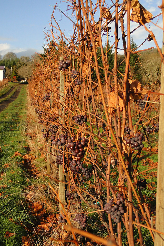 Pinot Noir - Second crop grapes are not picked as they ripen too late in the year. November 28th 2010