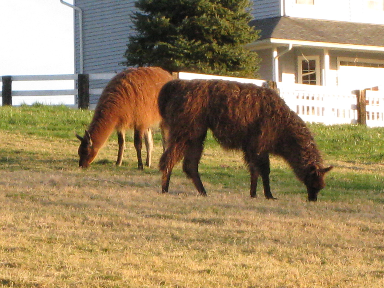 Some Llamas that live in a field just down the road from us.