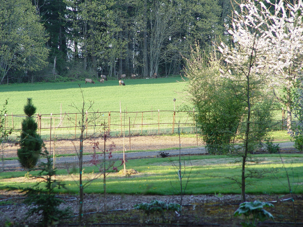 Friday April 24th: The Elk are out in our Neighbours filed, they were being cautious but didn't run off into the woods when they saw us.
