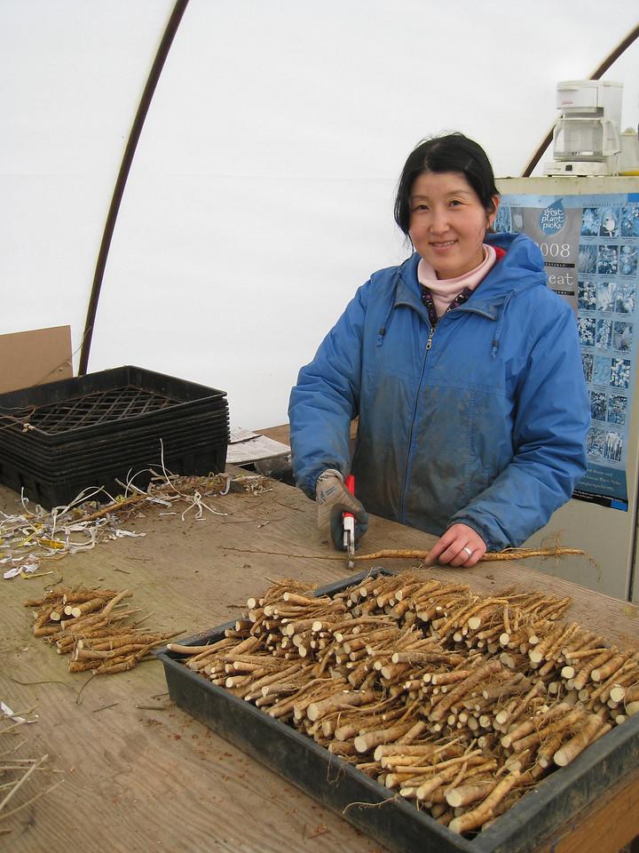 Hard at Work, Chiyoko preparing Wisteria root for grafting!