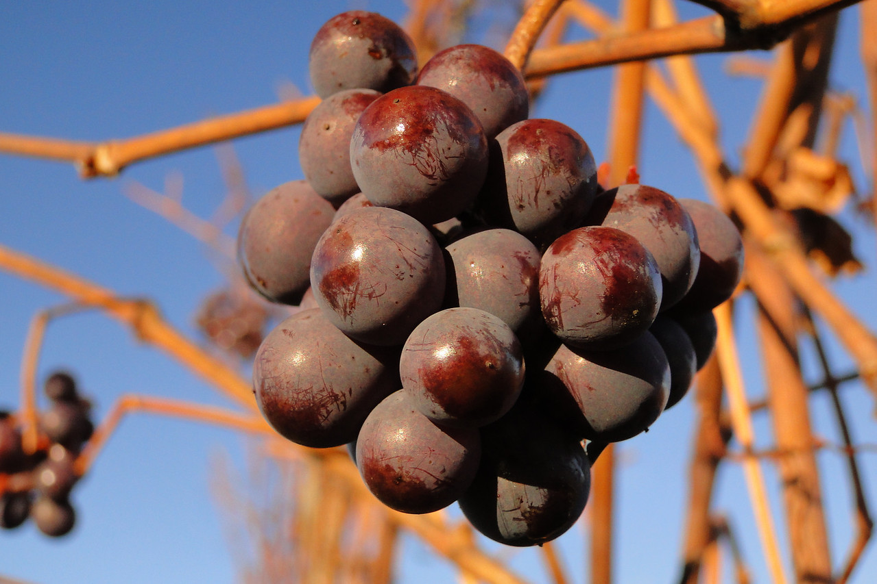 Pinot Noir Grapes November 28th 2010
