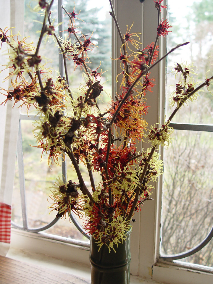 It's Witch-hazel time in the garden :^).....