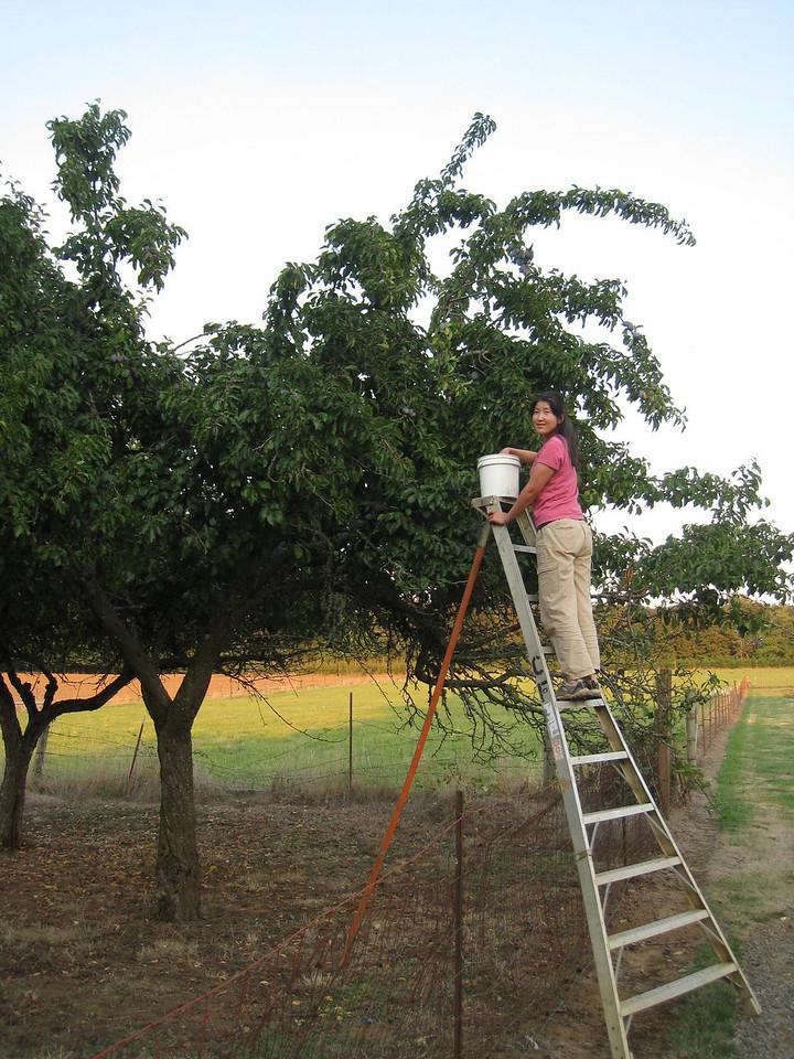 Chiyoko stealing plums of the neighbors tree :^)..