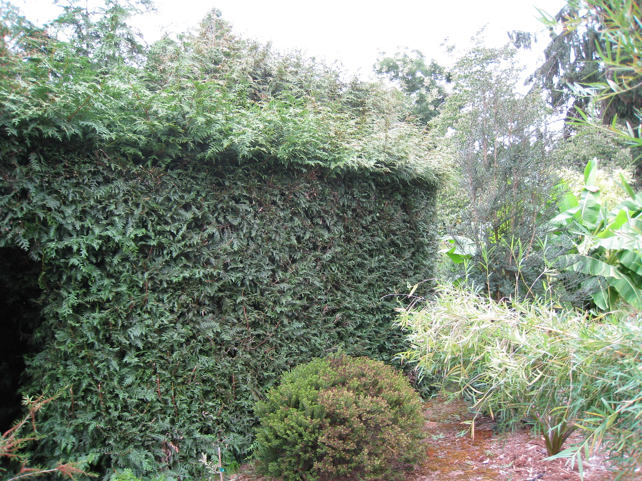 Time to cut the Hedge - Not a fun job! Which is why I skipped it last year!!