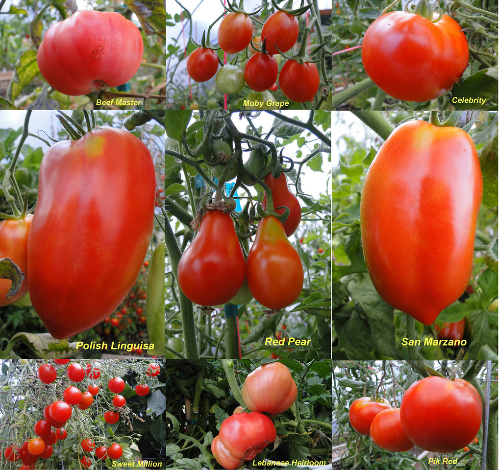 Our 2011 Tomato Plants..