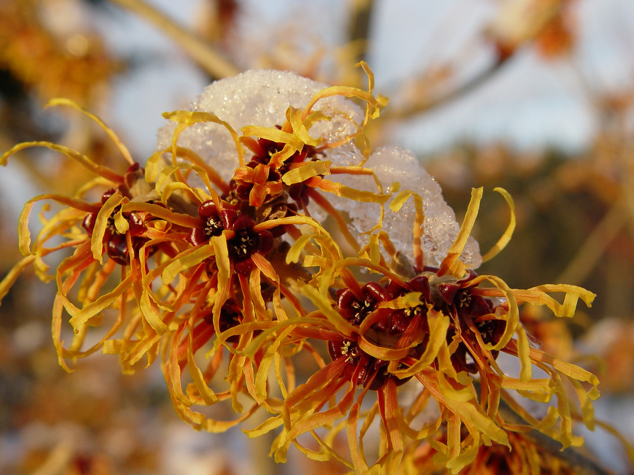 Jelena Witch Hazel Hamamelis x intermedia 'Jelena' Garden Photo January 25th 2009