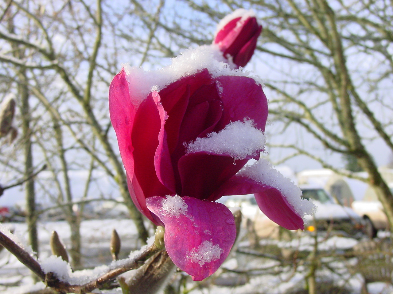 Magnolia 'Vulcan' with a dusting of snow - March 27th 2008.