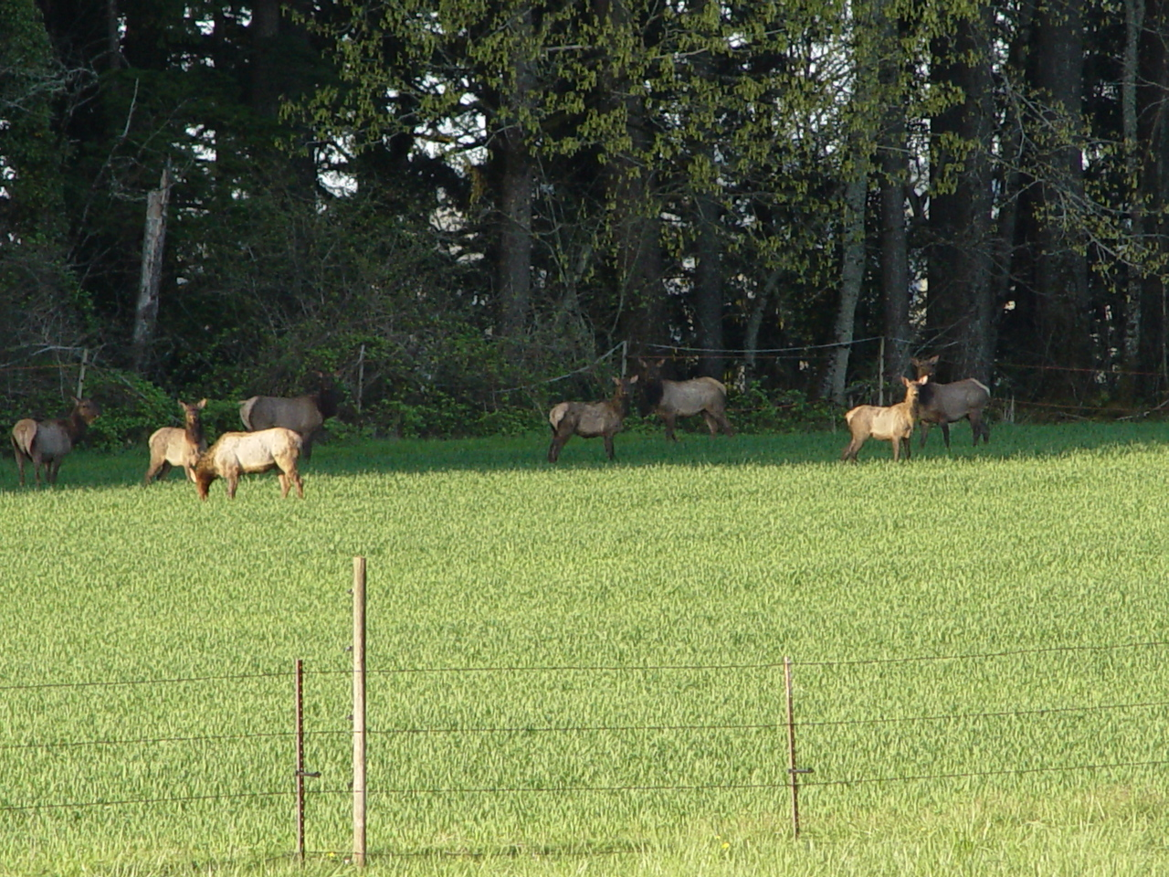 Elk in the Neighbours field - A closer view.