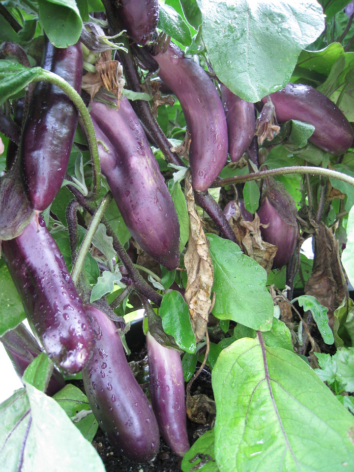 "I've been eating a lot of Egg Plant this year :^)..... This is the Japanese variety ""Ichiban"" or ""Number One""!"