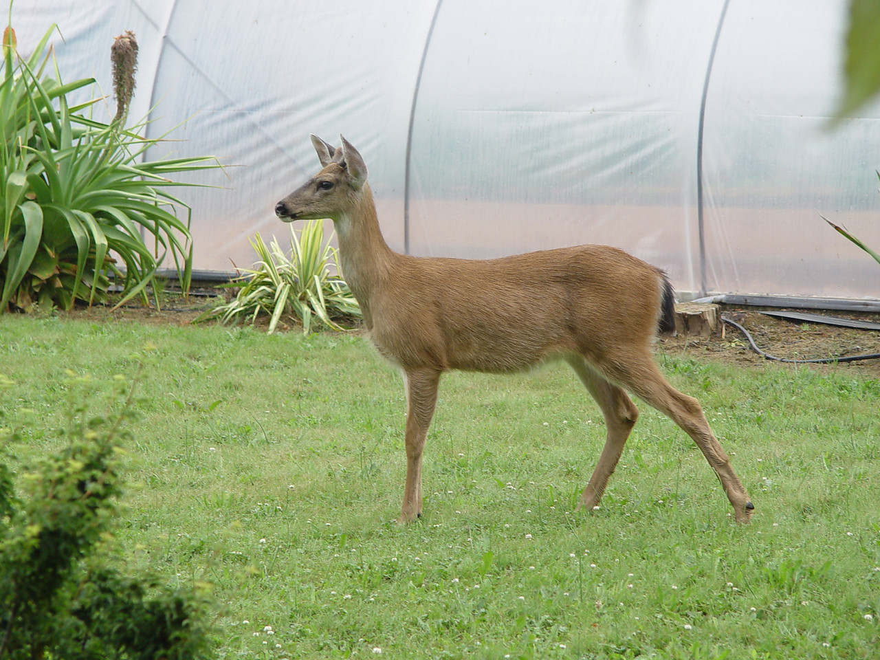 So we had a young deer in the garden on Saturday. Hadn't quite learned that it was supposed to be afraid of people!