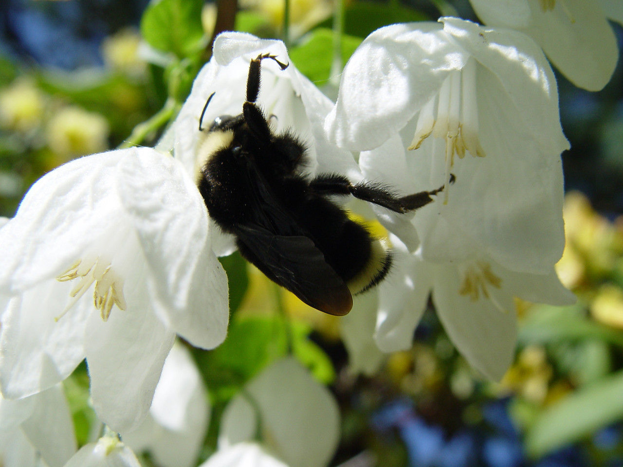 A bumble bee, busy on a Sunday afternoon.