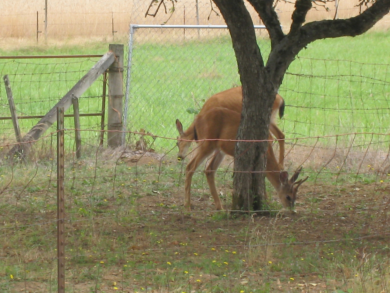 Chiyoko was wondering what had eaten all her strawberries (leaves too) & blueberries. Now we know - the deer are back!