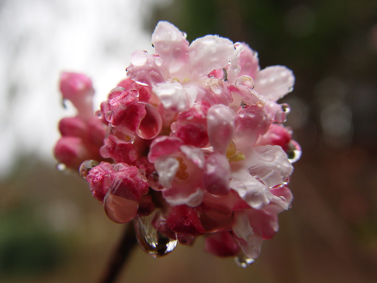 One of the first signs of Spring in our garden. The cultivars of Viburnum x bodnantense are now beginning to flower.
