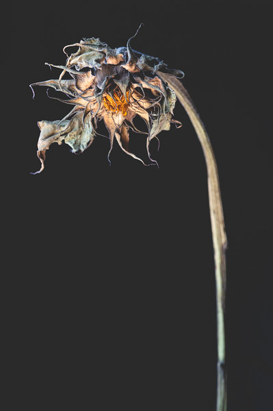 Sunglower