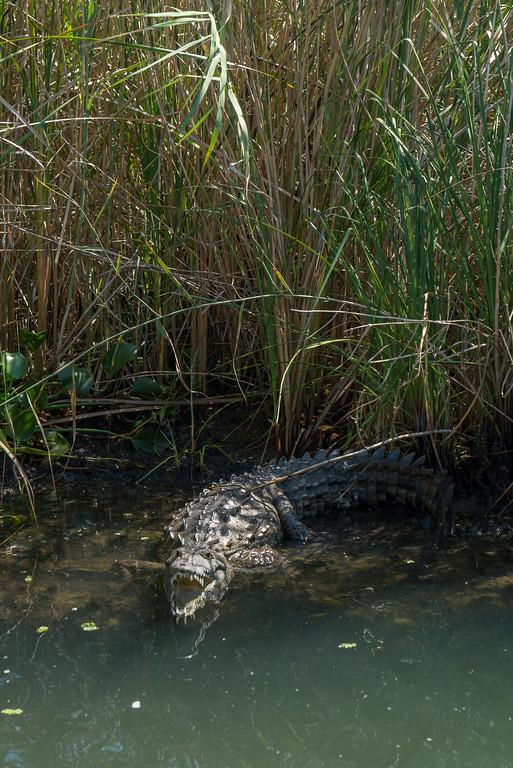 things to do in Jamaica crocodile safari