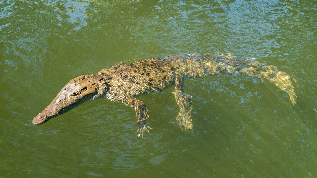 A Crocodile on our Black River Safari in Jamaica