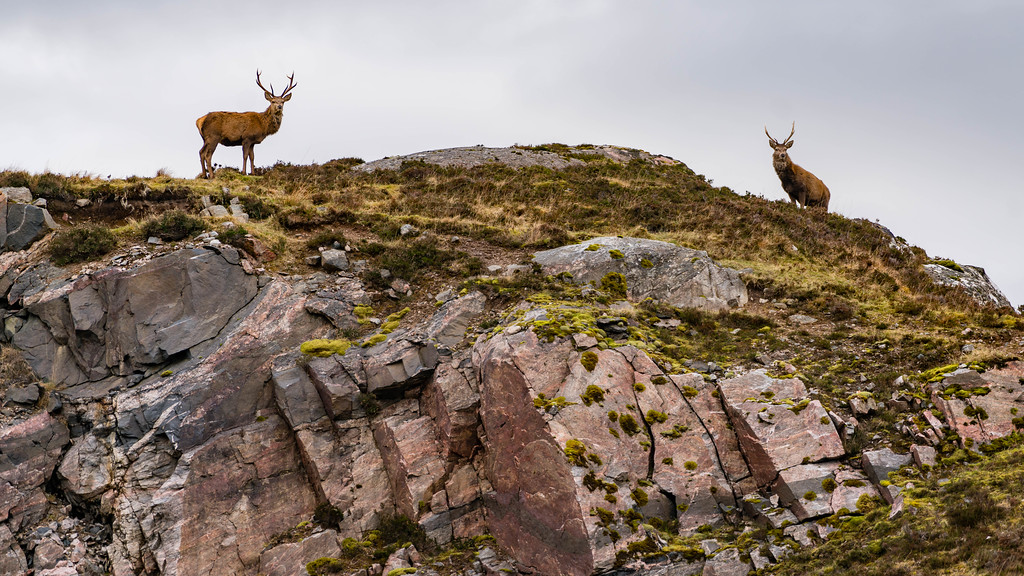 Stags are all along the North Coast 500