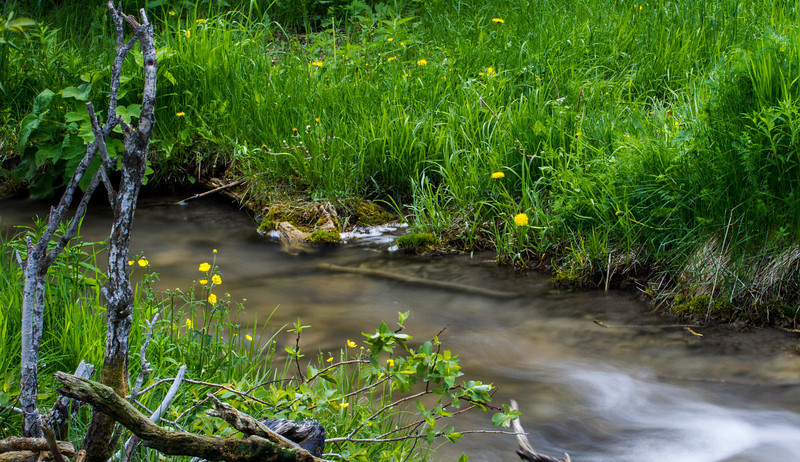 Buttercups by the creek