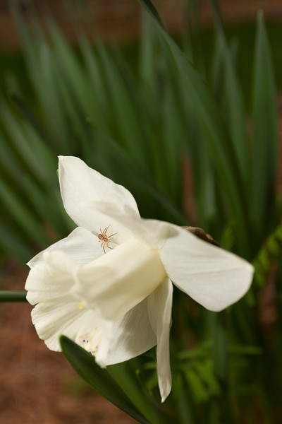 Spider and Daffodil