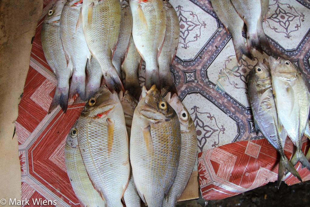 Changuu鱼