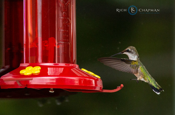 A broad-billed hummingbird (Cynanthus latirostris) hovers near a bird feeder. (Photo by Rich Chapman)