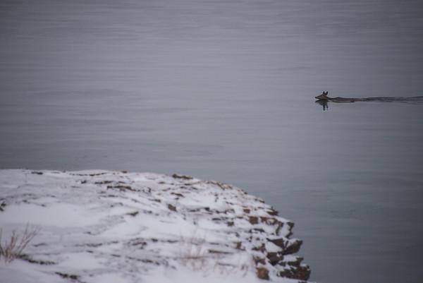Deer Swim in Lake Superior