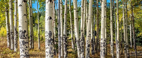 Aspen Tree Grove - Colorado