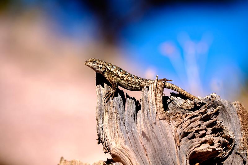 Painted Hills Lizard