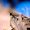 Painted Hills Lizard