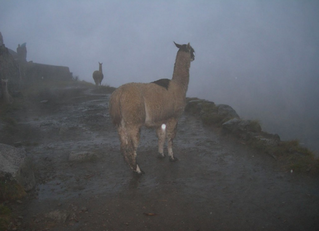 things to do in Peru llamas at Machu Picchu