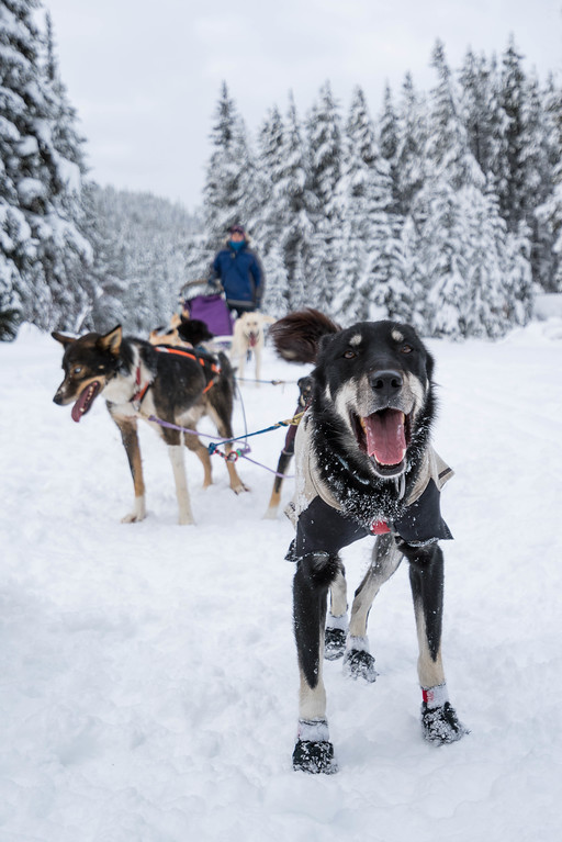 Each sled dog has his own personality.