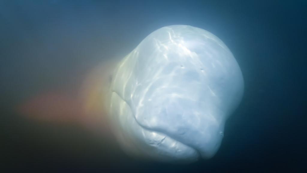 beluga whale swimming underwater