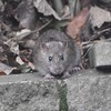 Brown rat, Rattus norvegicus