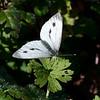 Green-veined White, Pieris napi, female