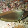 Spotted Unicornfish, Naso brevirostris 4812