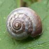 Kentish Snail, Monacha cantiana 4683