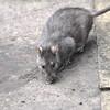 Brown Rat, Rattus norvegicus 4032