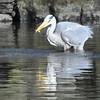 Grey Heron, Ardea cinerea 4176