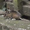 House Mouse, Mus domesticus 4001